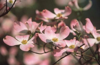 dogwoods-pink415x272 2.jpg