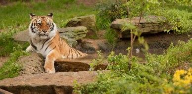 zoo-tiger1280x630 (1)