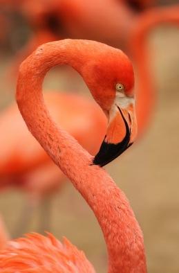 2-28-11 Flamingo - Christian Sperka.jpg