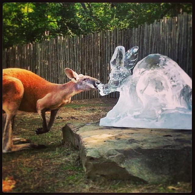 kangaroo-enrichment-iceday-kaycehackett.jpg